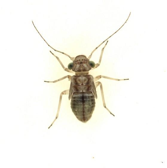 Indiopsocus palmatus - female