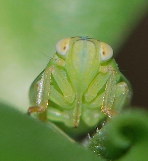 hopper nymph - Thionia simplex