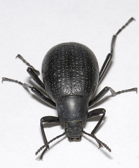 Black Beetle. - Eleodes goryi