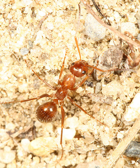 ant - Formica dolosa