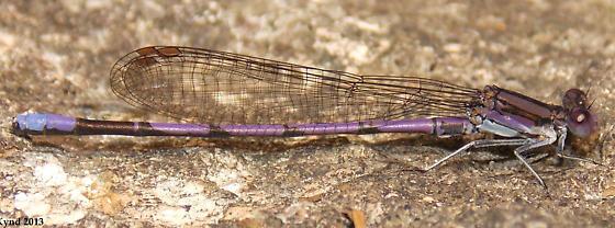 Violet Dancer - Argia fumipennis