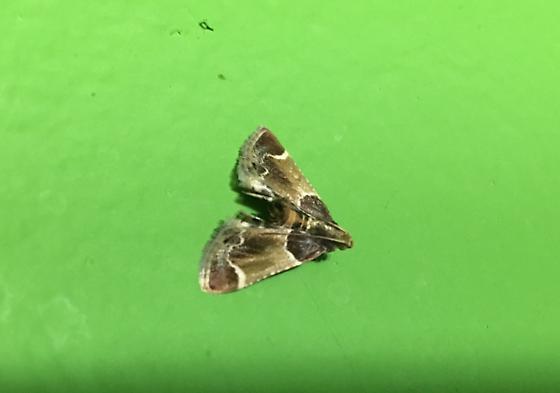 Moth ID request...Pyralis farinalis? - Pyralis farinalis