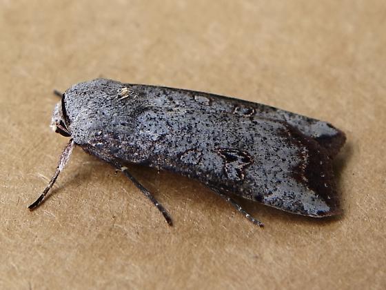 Green Cutworm Moth,  Anicla infecta - Anicla infecta