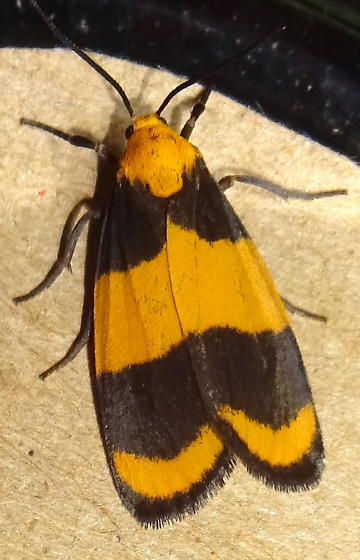 Arizona yellow & black Moth - Eudesmia arida