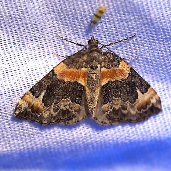 Genus Dysstroma Species ID Request - Dysstroma hersiliata
