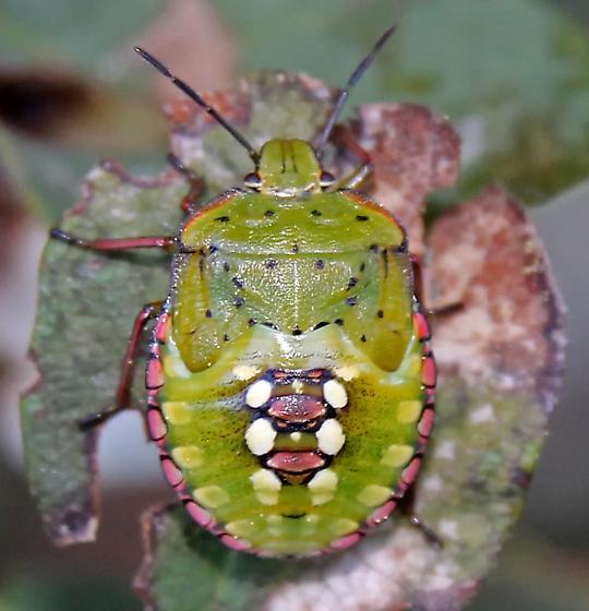 Southern Stink Bug Nymph - Nezara viridula