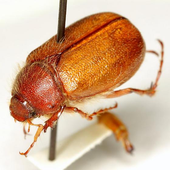 Phyllophaga apicata Reinhard - Phyllophaga apicata - male
