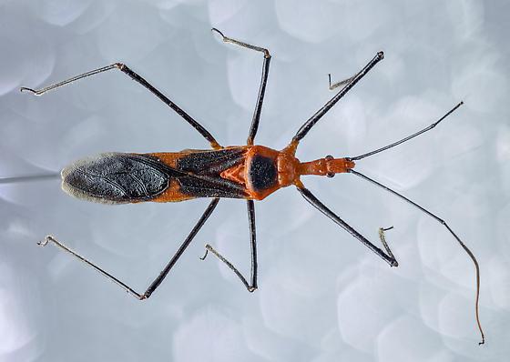 Assassin Bug? - Zelus longipes