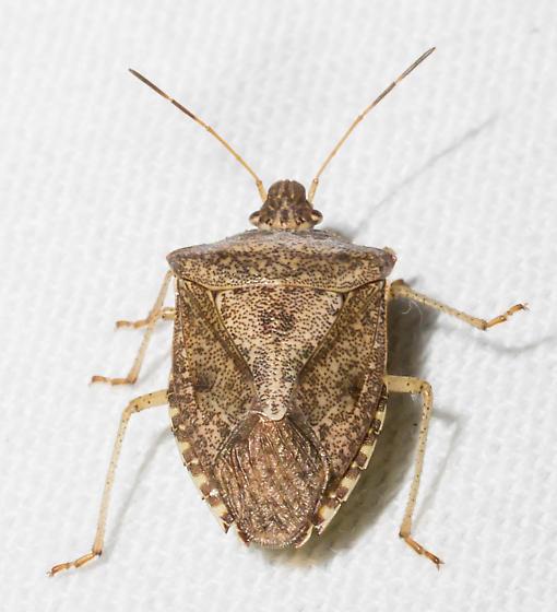 Brown-speckled stink bug