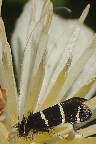 Possibly a tineid moth? - Adela trigrapha
