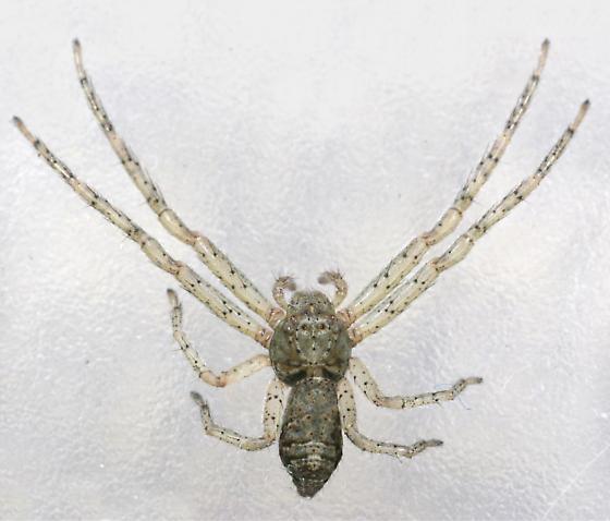 Crab Spider 4 - Tmarus - female