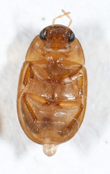 Hydrophilidae #4 - Enochrus ochraceus