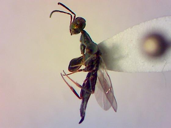 chalcid wasp – ? - Oodera