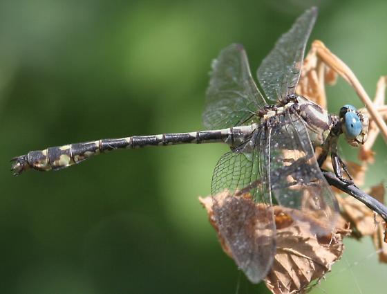 Olive Clubtail - Stylurus olivaceus - male