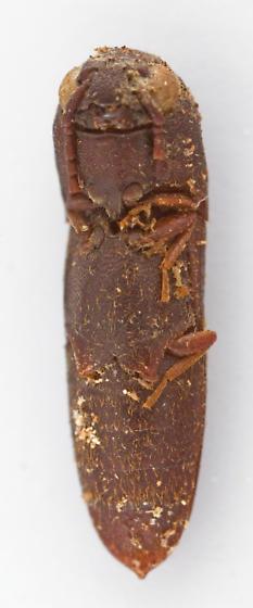 Beetle - Nematodes atropos