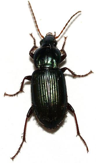 Green, with setae, carabid - Poecilus diplophyrus