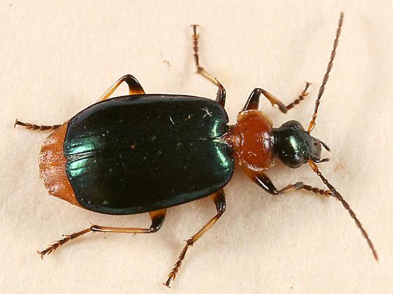 ground beetle - Lebia viridipennis
