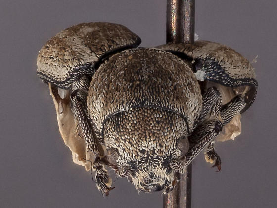 Myochorus squamosa - Myochrous