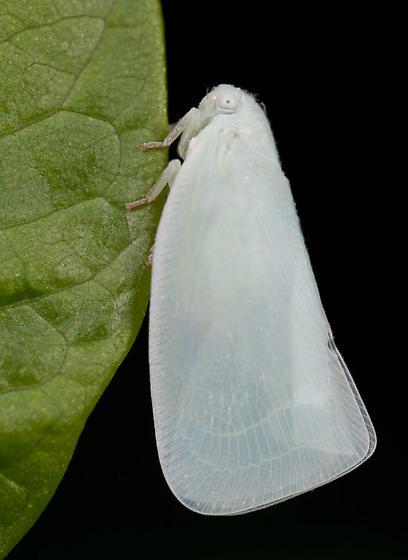 White Moth - Flatormenis proxima