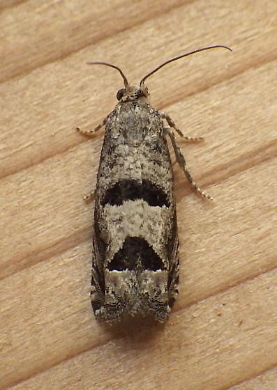 Tortricidae: Eucosma? - Pelochrista seamansi