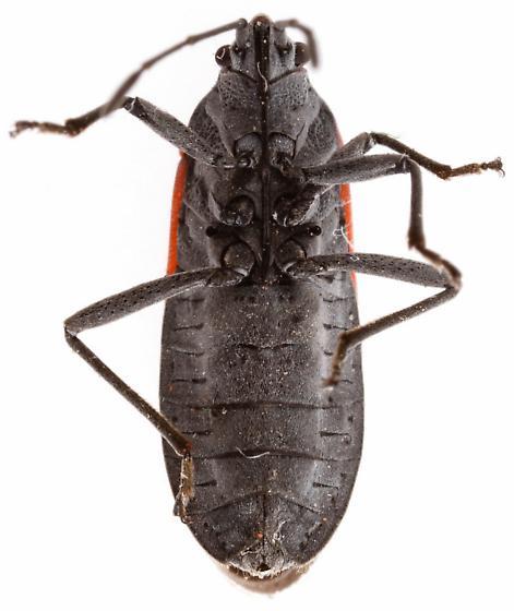 Melacoryphus lateralis? - Melacoryphus lateralis