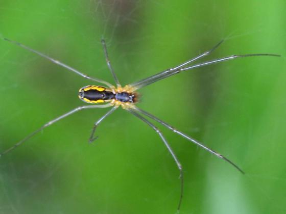 Spider - Neriene radiata