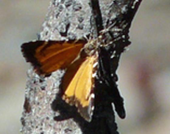 Moth (?) near snow line - Stamnodes topazata