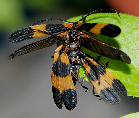Banded Net-wing - Calopteron reticulatum - male - female