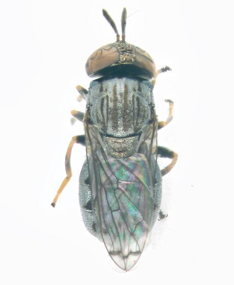 Syrphidae, dorsal - Orthonevra nitida - female