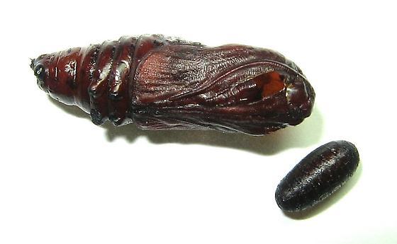 Parasitized American Dagger Moth pupa - Acronicta americana