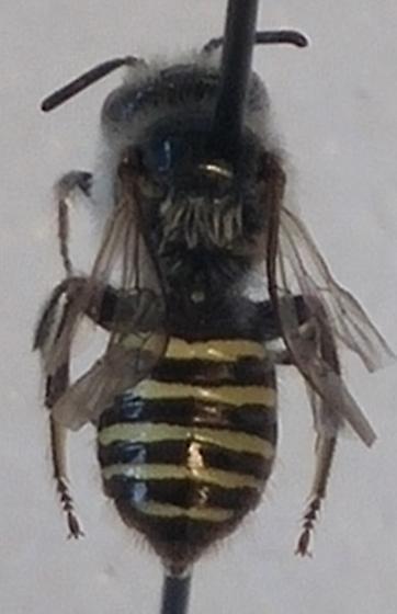 unk male - Calliopsis puellae - male