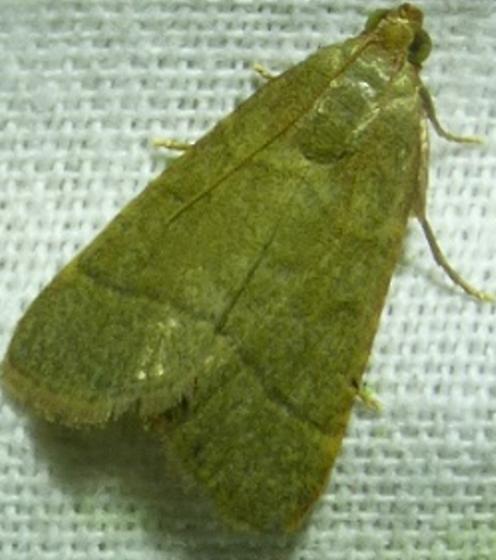 Hypsopygia nostralis - Southern Hayworm Moth? - Hypsopygia nostralis