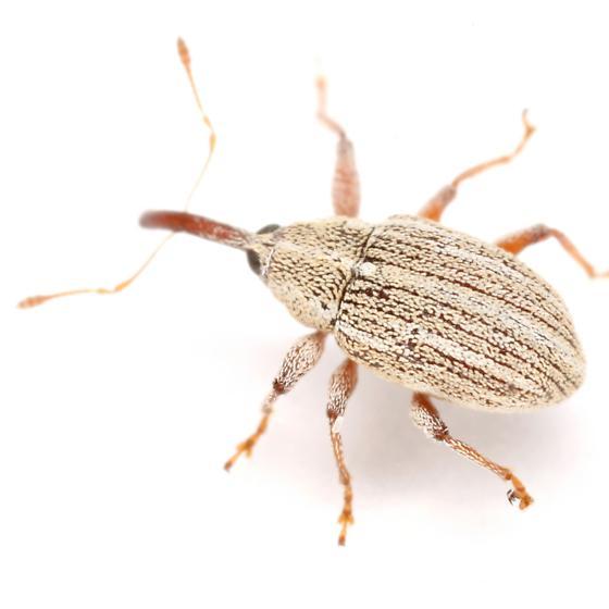Anthonomus squamosus LeConte - Anthonomus heterothecae