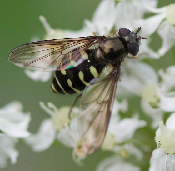 Fly - Dasysyrphus - female
