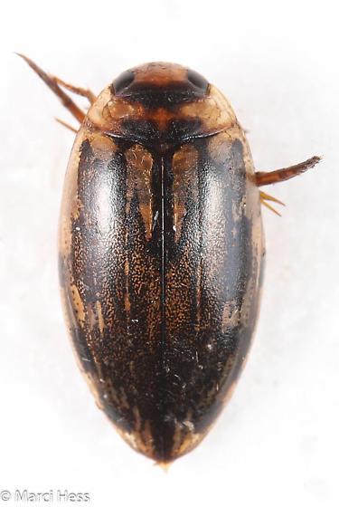 Coptotomus venustus