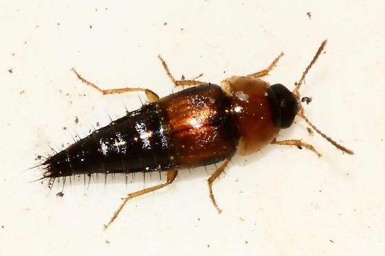 Rove beetle - T. dispar - Tachyporus dispar