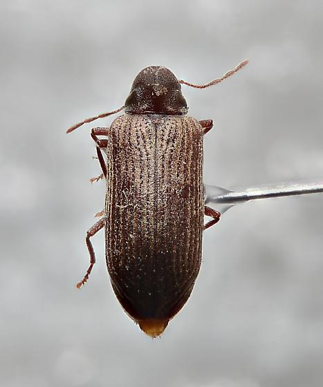 Anobiinae - Hemicoelus gibbicollis