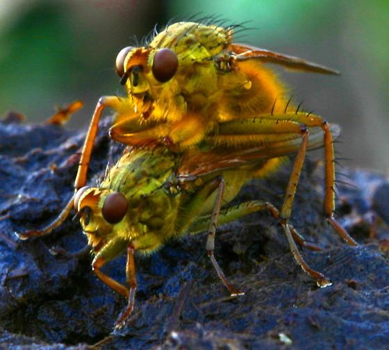 Golden Dung Flies - Scathophaga stercoraria - male - female