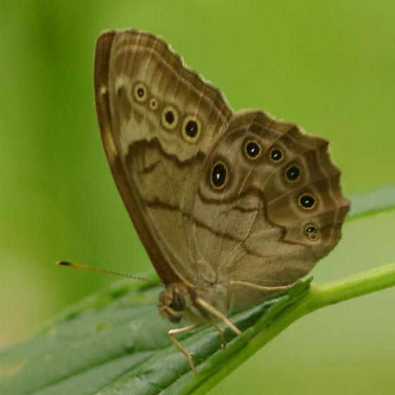 Underside with spots - Lethe anthedon