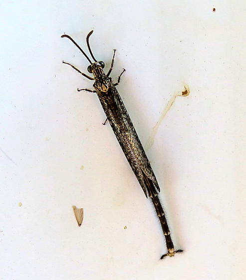 Long skinny bug from Arizona