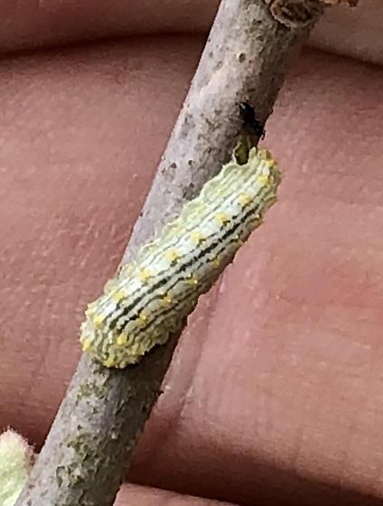 Speckled lactura on Gum bumelia - Lactura subfervens