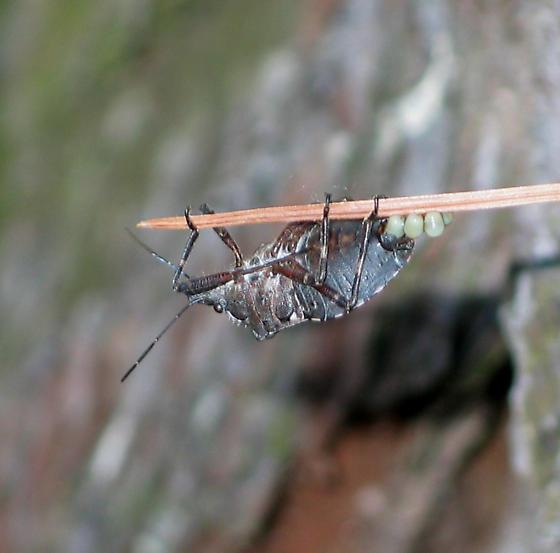 Laying Eggs - Brochymena - female