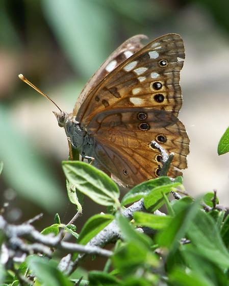 Hackberry Emperor - Asterocampa celtis - female