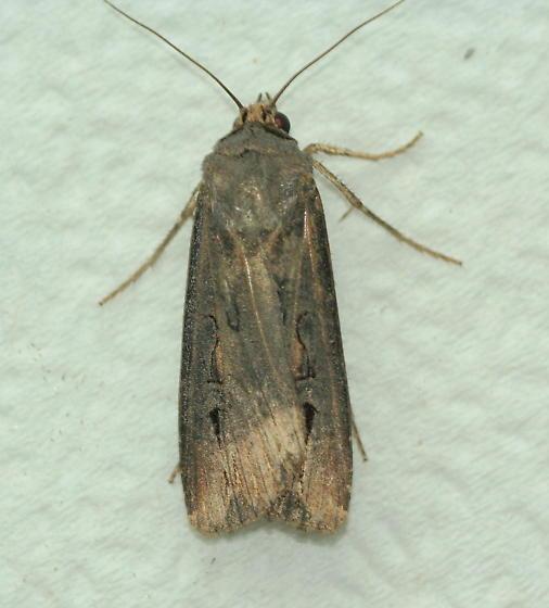 Unknown Moth - Agrotis ipsilon