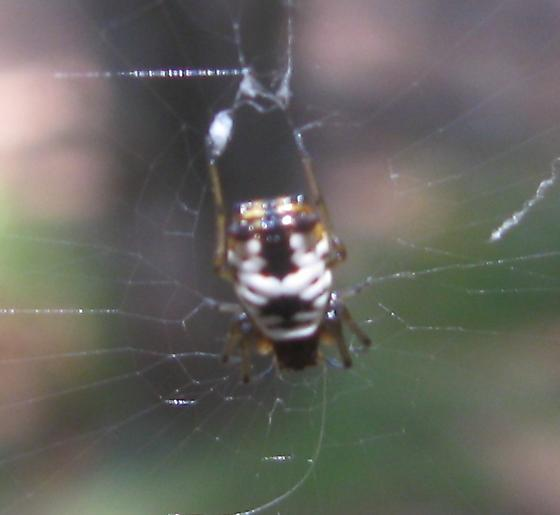 Unknown Spider - Micrathena mitrata