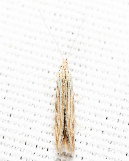 Streaked Coleophora - Coleophora cratipennella