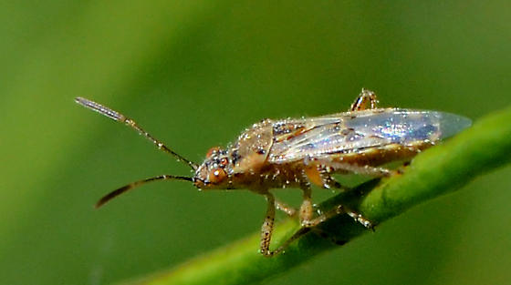 Bug- used non-technically - Liorhyssus hyalinus