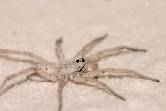 White Sands wolf spider - Geolycosa - BugGuide Net