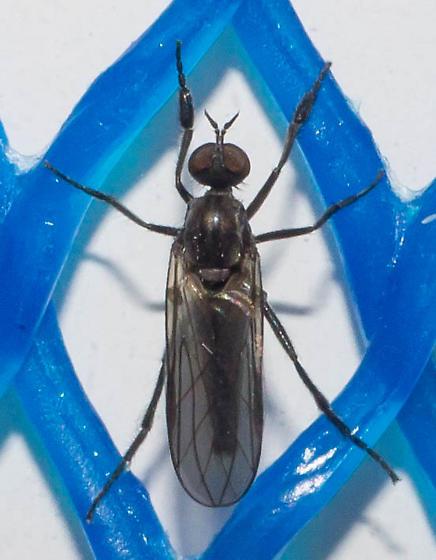 Black-legged fly - Rhamphomyia - male