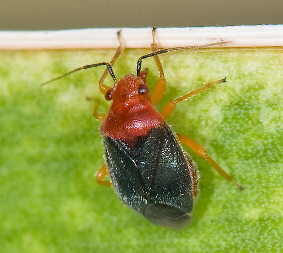 Species Halticotoma valida - Yucca plant bug - Halticotoma valida